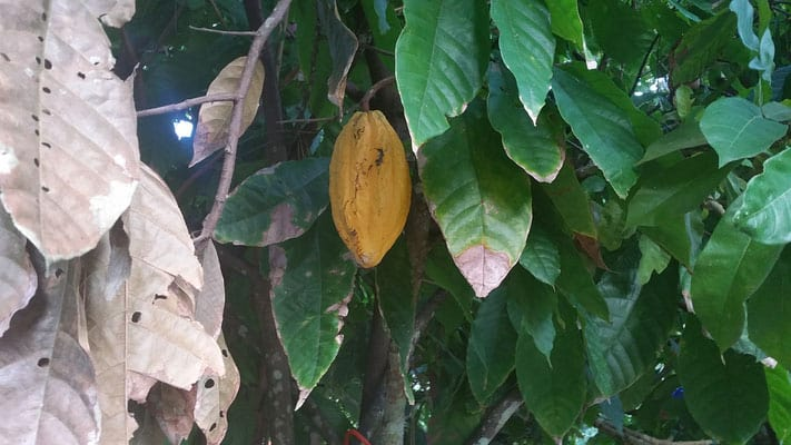 places in trinidad to visit, cocoa bean plant