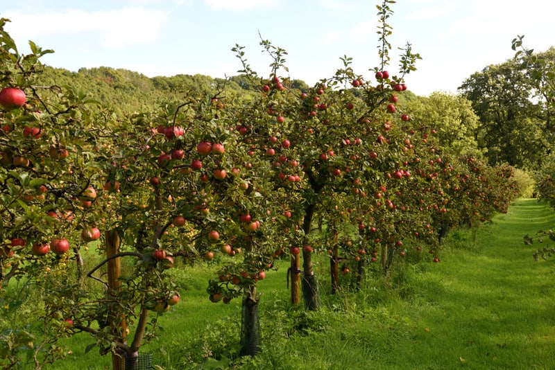 Top things to Do in Door County, WI ,View of Cider apples in orchard